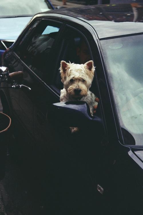 A posing dog.